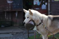 2011-11-20_Sled_Dogs_0017.jpg