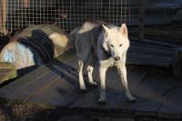 2011-11-20_Sled_Dogs_0019.jpg