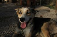 2011-11-20_Sled_Dogs_0036.jpg